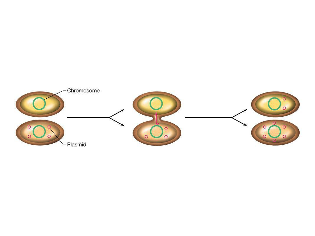 Figure: 10-18 Caption: Plasmid transfer from cell to cell during conjugation.