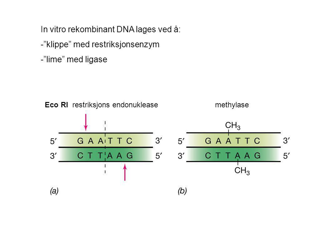 In vitro rekombinant DNA lages ved å: - klippe med restriksjonsenzym