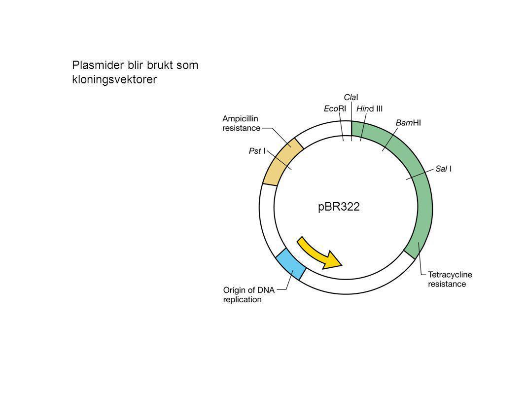 Plasmider blir brukt som kloningsvektorer
