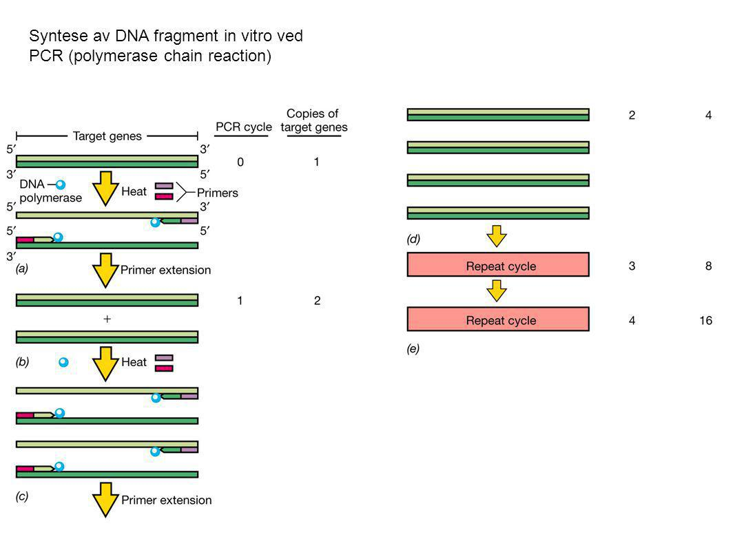 Syntese av DNA fragment in vitro ved PCR (polymerase chain reaction)