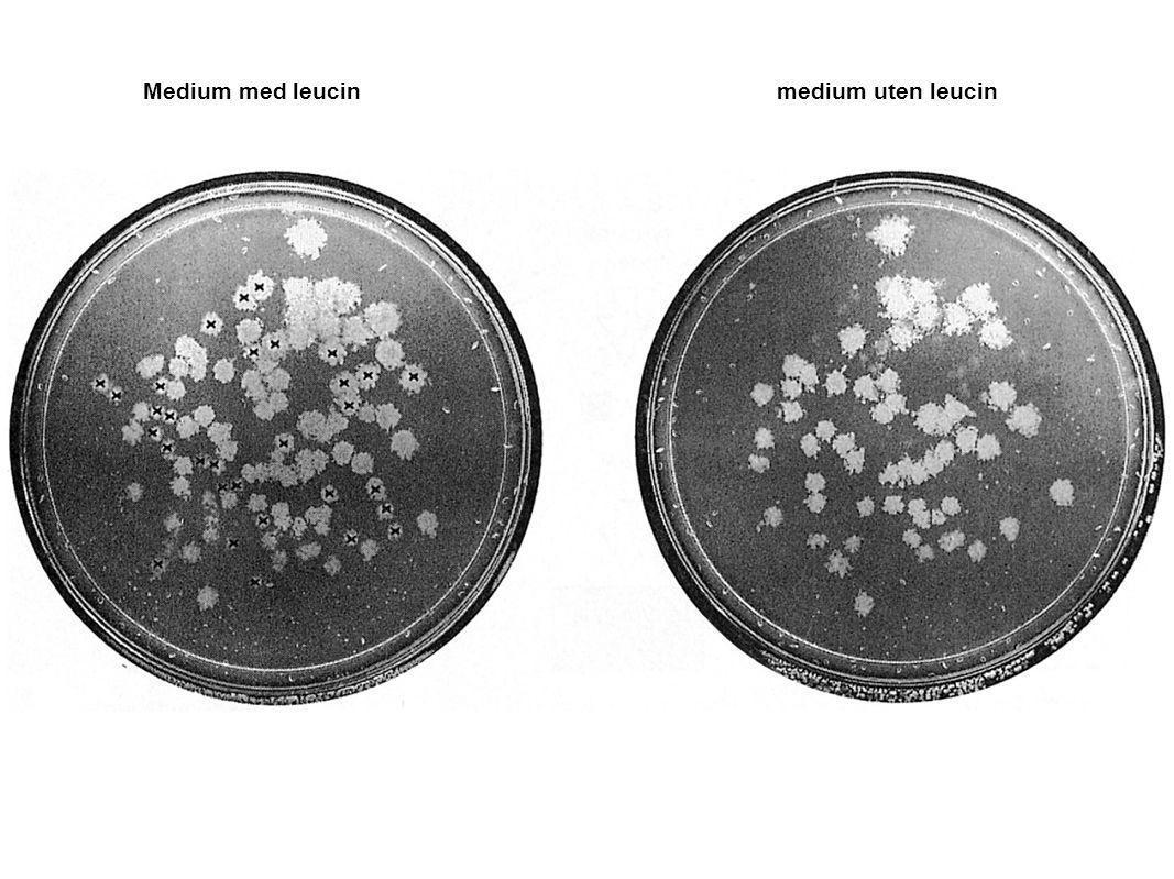 Medium med leucin medium uten leucin