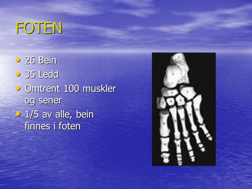FOTEN 26 Bein 35 Ledd Omtrent 100 muskler og sener