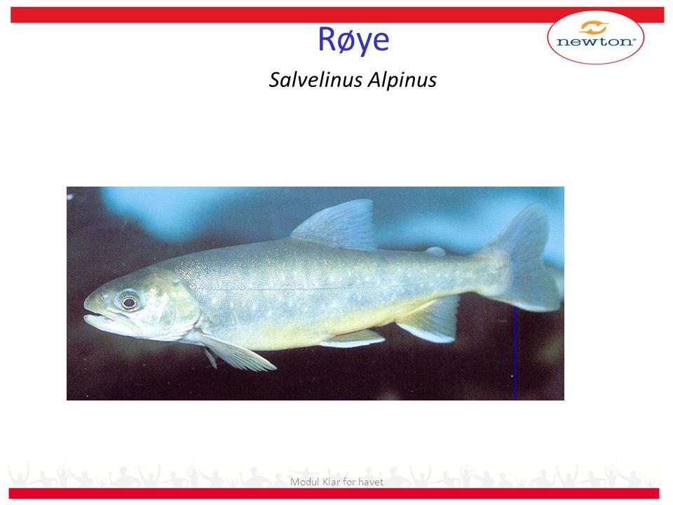 Røye Salvelinus Alpinus