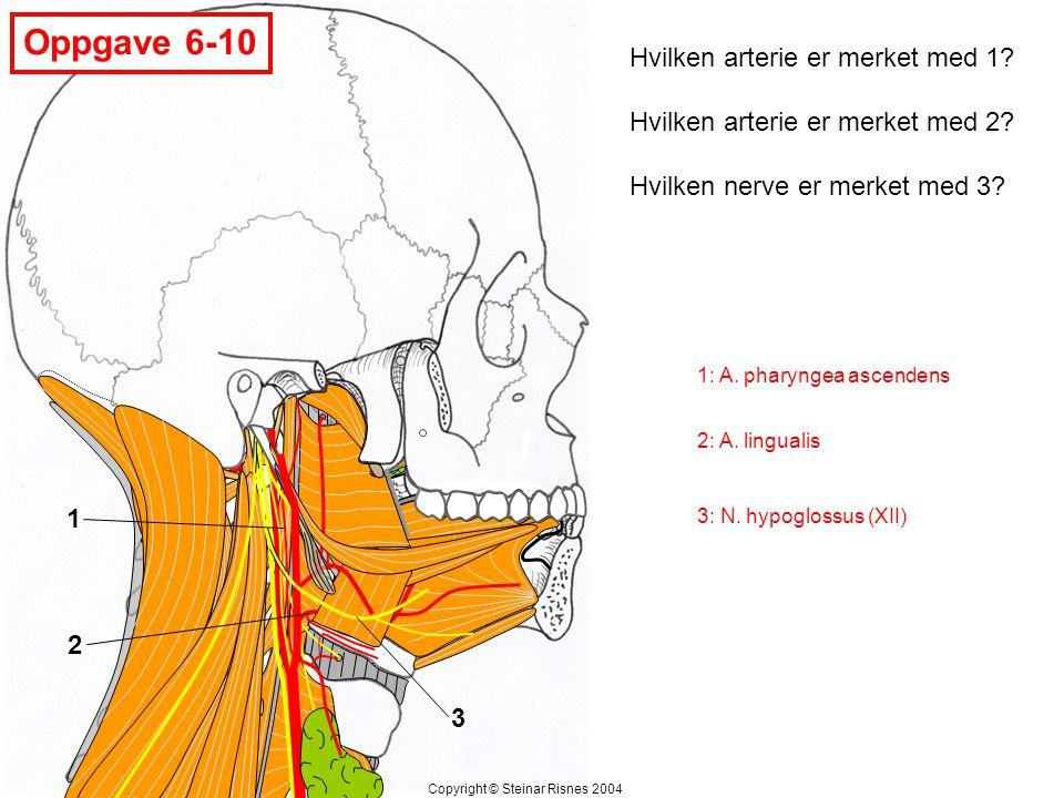 Oppgave 6-10 Hvilken arterie er merket med 1