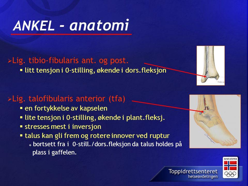 ANKEL - anatomi litt tensjon i 0-stilling, økende i dors.fleksjon