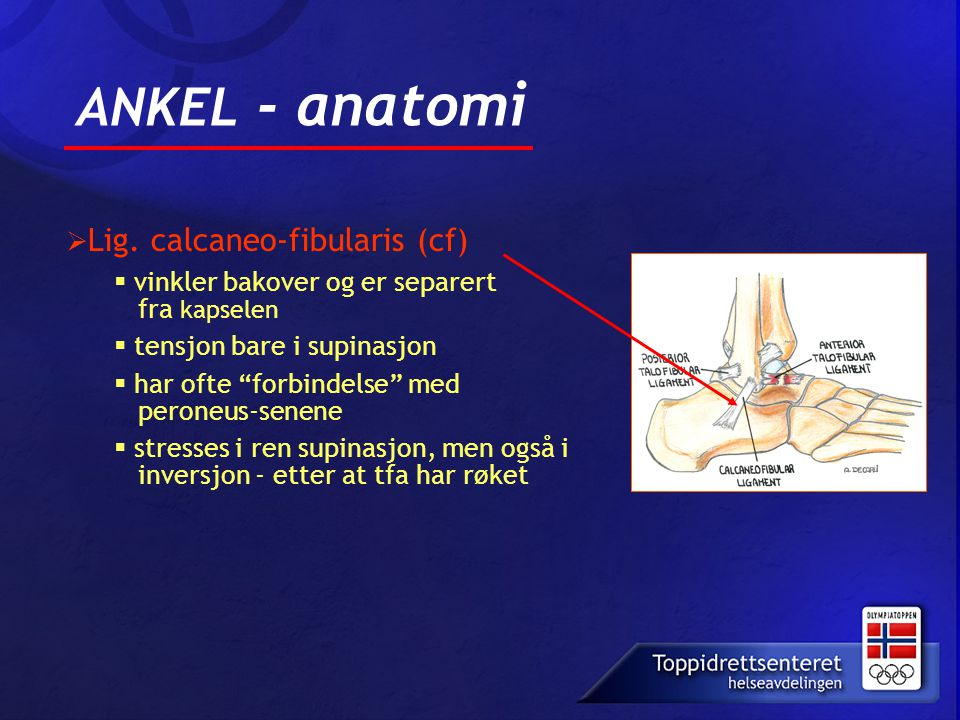 ANKEL - anatomi Lig. calcaneo-fibularis (cf)