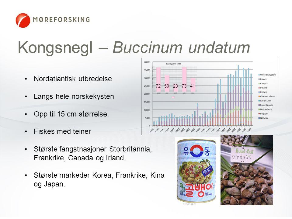 Kongsnegl – Buccinum undatum