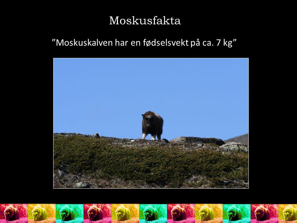 Moskusfakta Moskuskalven har en fødselsvekt på ca. 7 kg