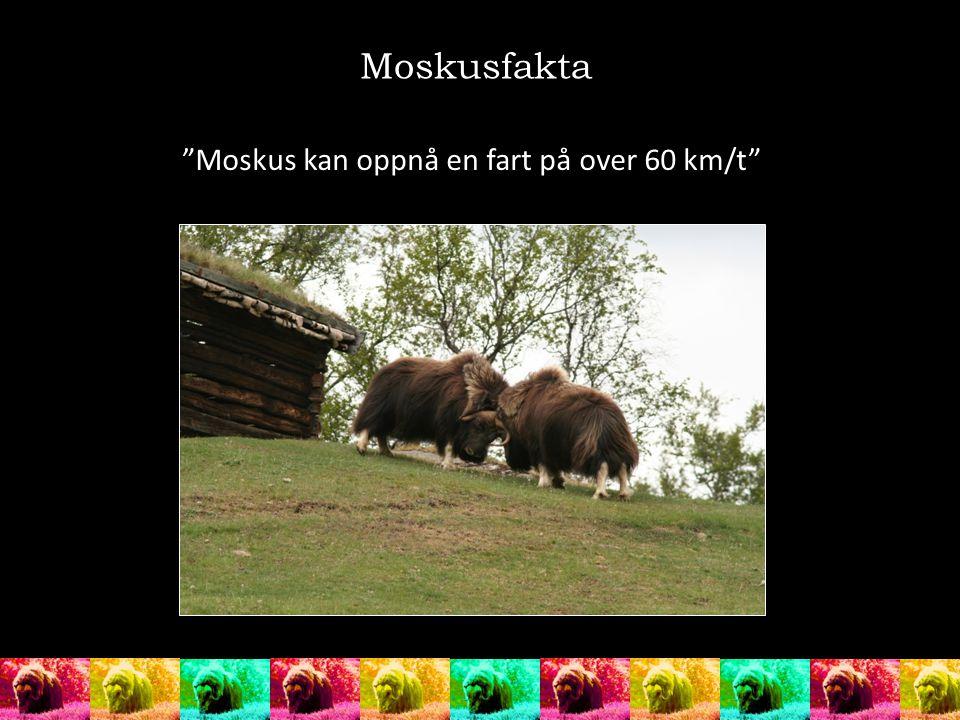 Moskusfakta Moskus kan oppnå en fart på over 60 km/t
