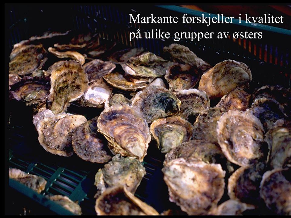 Markante forskjeller i kvalitet på ulike grupper av østers