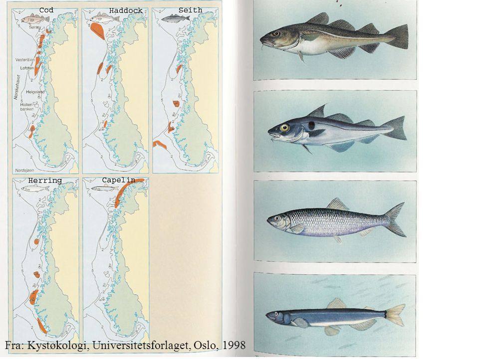 Fra: Kystøkologi, Universitetsforlaget, Oslo, 1998