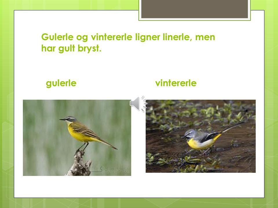 Gulerle og vintererle ligner linerle, men har gult bryst.