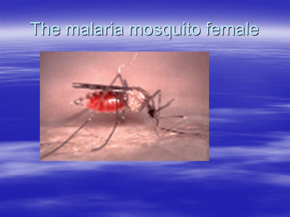 The malaria mosquito female