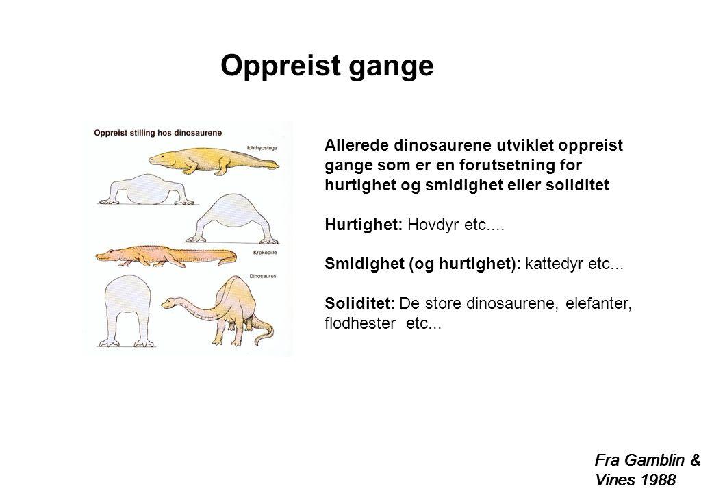Oppreist gange Allerede dinosaurene utviklet oppreist gange som er en forutsetning for hurtighet og smidighet eller soliditet.