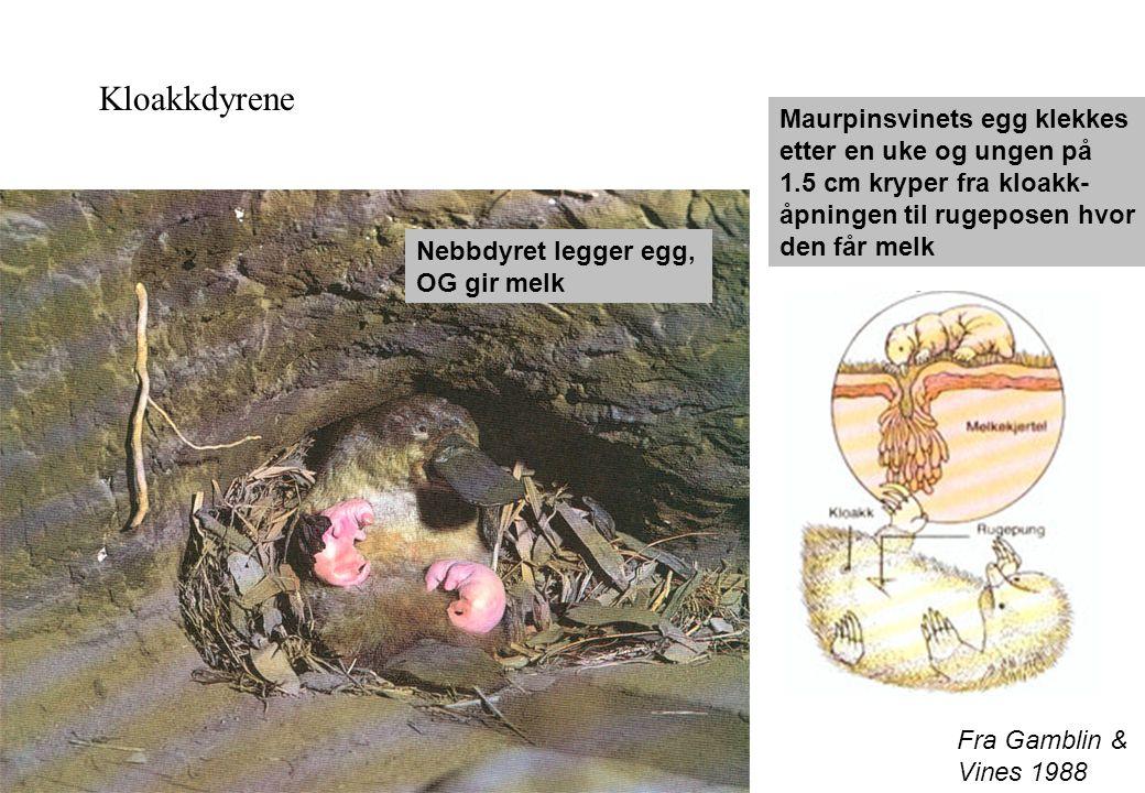 Kloakkdyrene Maurpinsvinets egg klekkes etter en uke og ungen på 1.5 cm kryper fra kloakk- åpningen til rugeposen hvor den får melk.