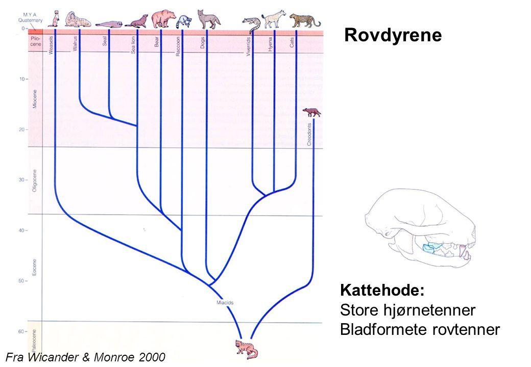 Rovdyrene Kattehode: Store hjørnetenner Bladformete rovtenner
