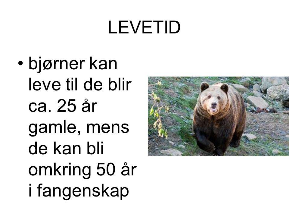 LEVETID bjørner kan leve til de blir ca. 25 år gamle, mens de kan bli omkring 50 år i fangenskap