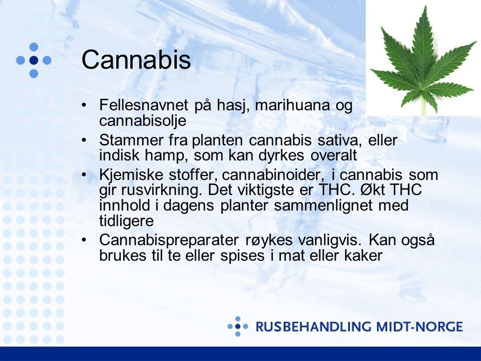 Cannabis Fellesnavnet på hasj, marihuana og cannabisolje