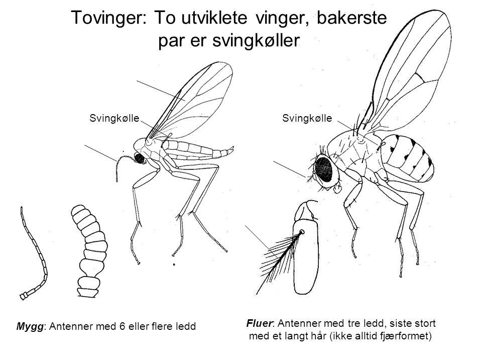 Tovinger: To utviklete vinger, bakerste par er svingkøller