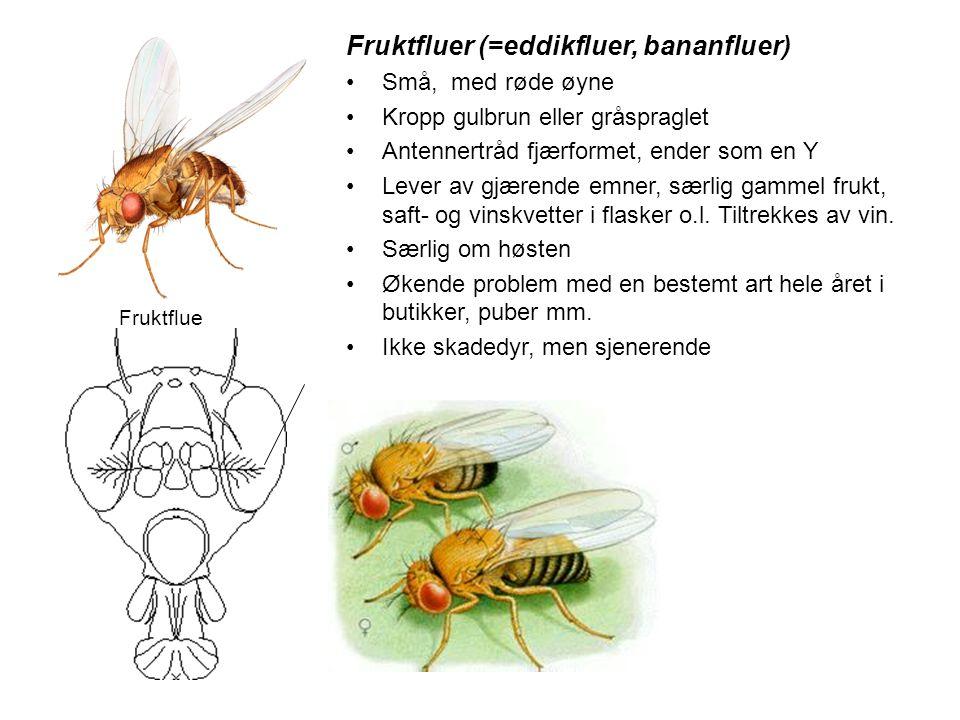 Fruktfluer (=eddikfluer, bananfluer)