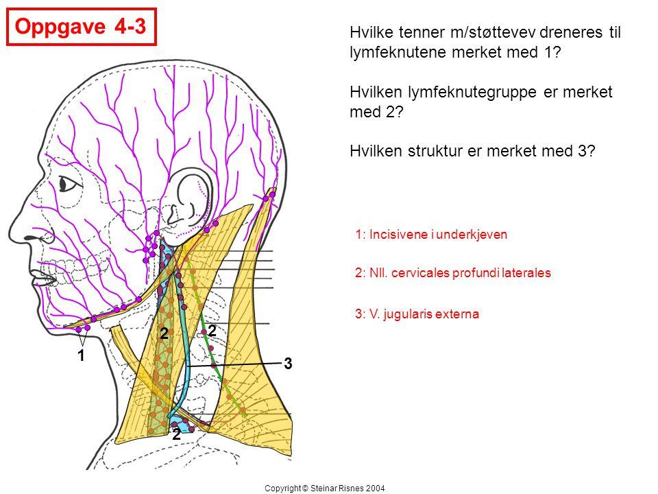 Oppgave 4-3 Hvilke tenner m/støttevev dreneres til lymfeknutene merket med 1 Hvilken lymfeknutegruppe er merket med 2