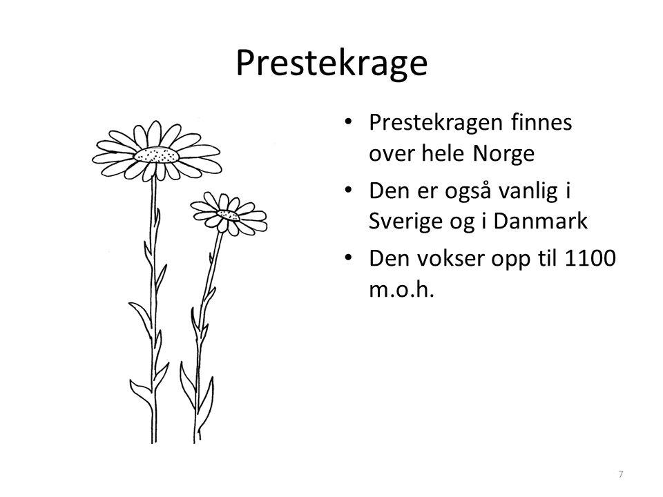Prestekrage Prestekragen finnes over hele Norge