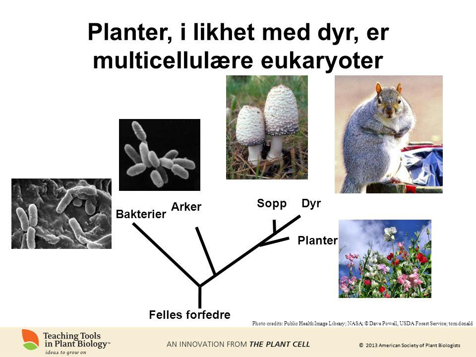 Planter, i likhet med dyr, er multicellulære eukaryoter