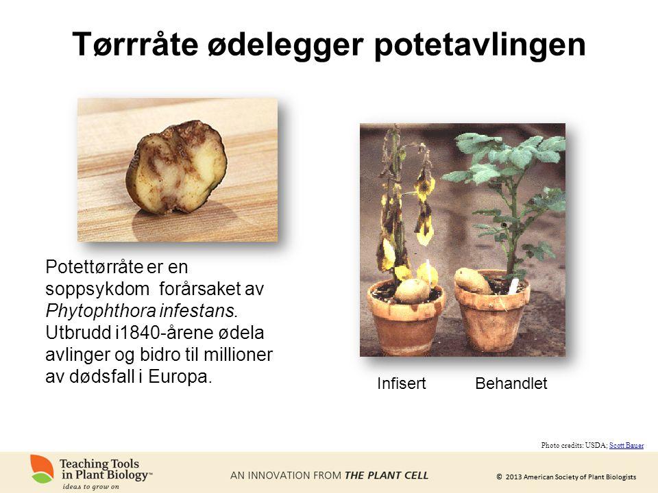 Tørrråte ødelegger potetavlingen