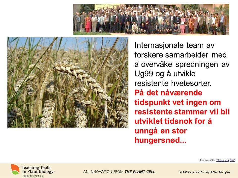 Internasjonale team av forskere samarbeider med å overvåke spredningen av Ug99 og å utvikle resistente hvetesorter.