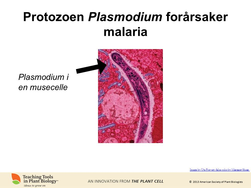 Protozoen Plasmodium forårsaker malaria