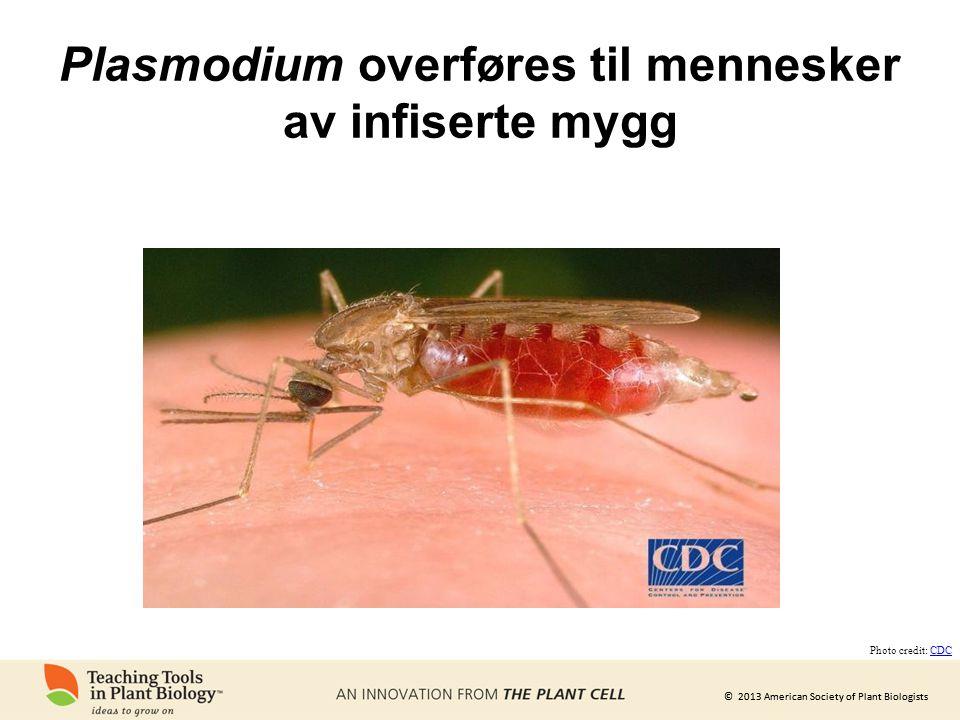Plasmodium overføres til mennesker av infiserte mygg