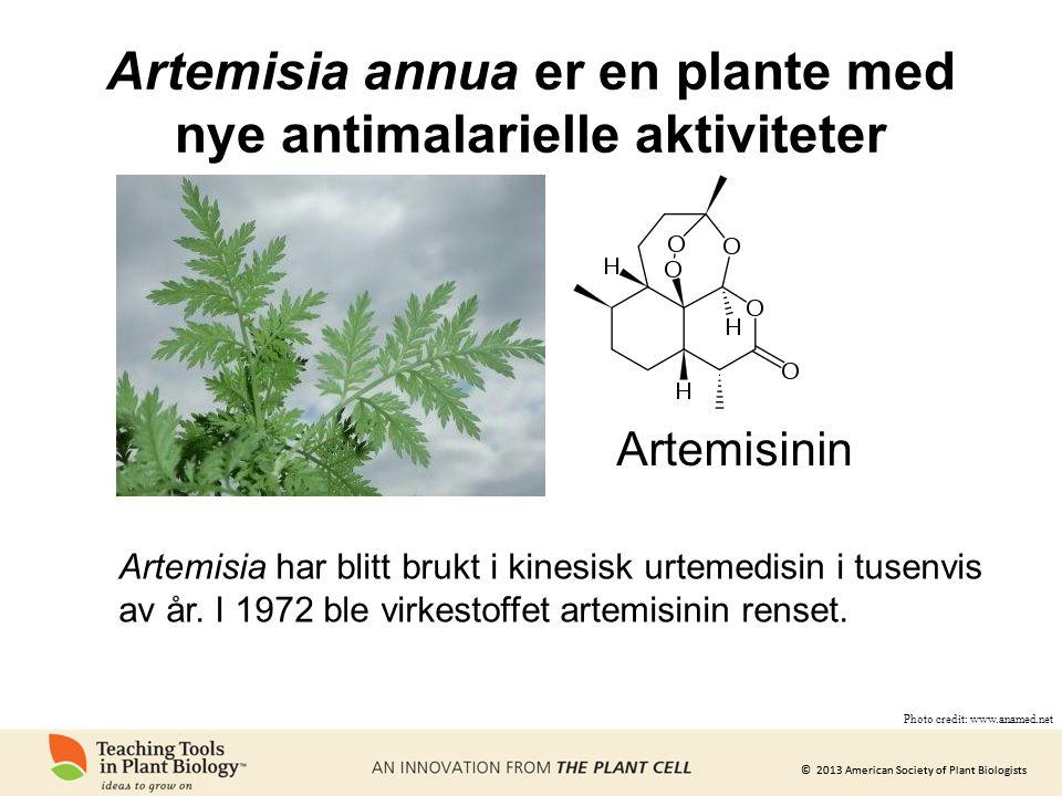 Artemisia annua er en plante med nye antimalarielle aktiviteter