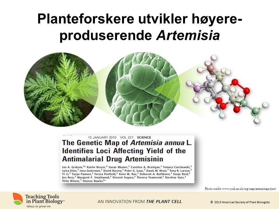 Planteforskere utvikler høyere-produserende Artemisia