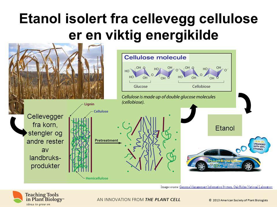 Etanol isolert fra cellevegg cellulose er en viktig energikilde