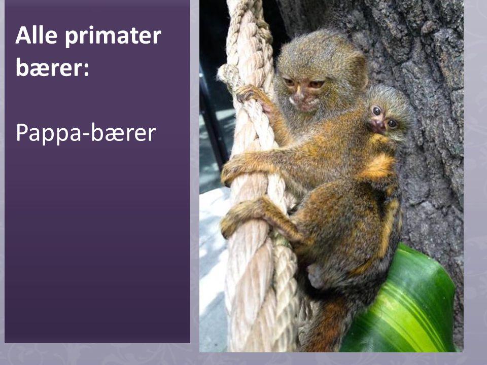 Alle primater bærer: Pappa-bærer