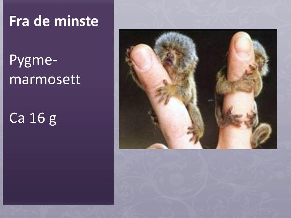 Fra de minste Pygme-marmosett Ca 16 g