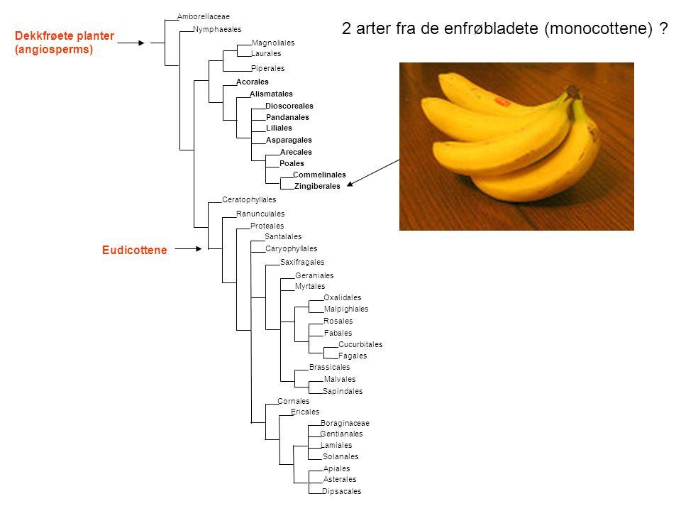 2 arter fra de enfrøbladete (monocottene)