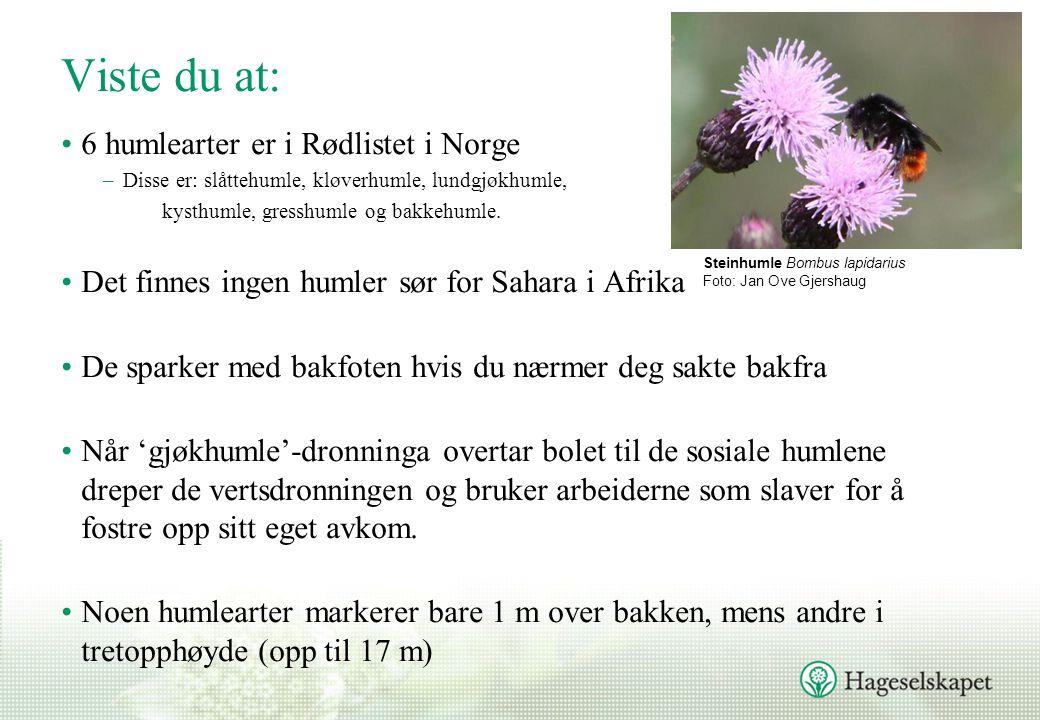 Viste du at: 6 humlearter er i Rødlistet i Norge