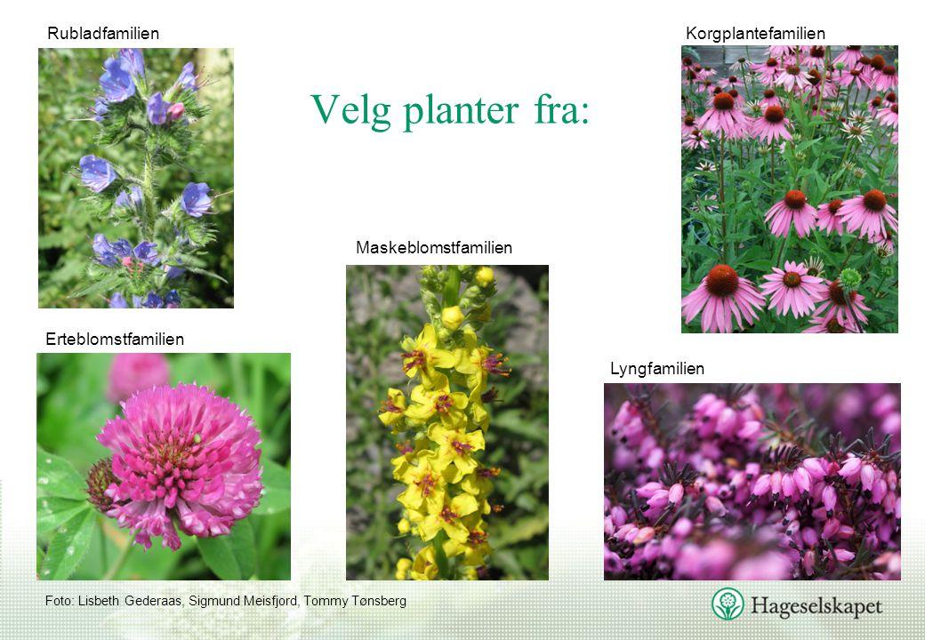Velg planter fra: Rubladfamilien Korgplantefamilien