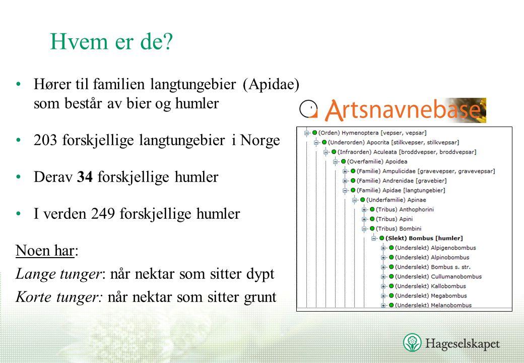 Hvem er de Hører til familien langtungebier (Apidae) som består av bier og humler. 203 forskjellige langtungebier i Norge.