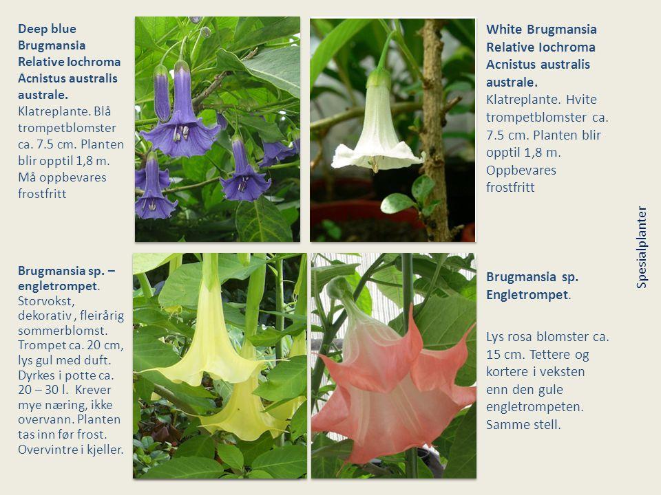 Brugmansia sp. Engletrompet.