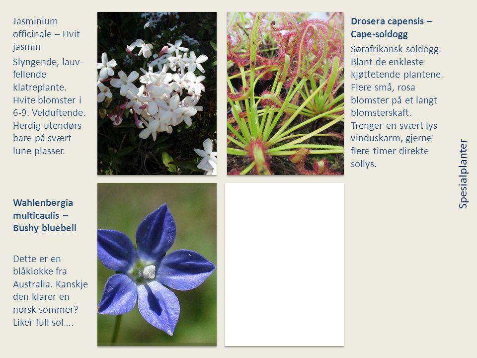 Spesialplanter Jasminium officinale – Hvit jasmin
