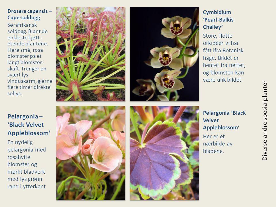 Pelargonia – 'Black Velvet Appleblossom' Diverse andre spesialplanter