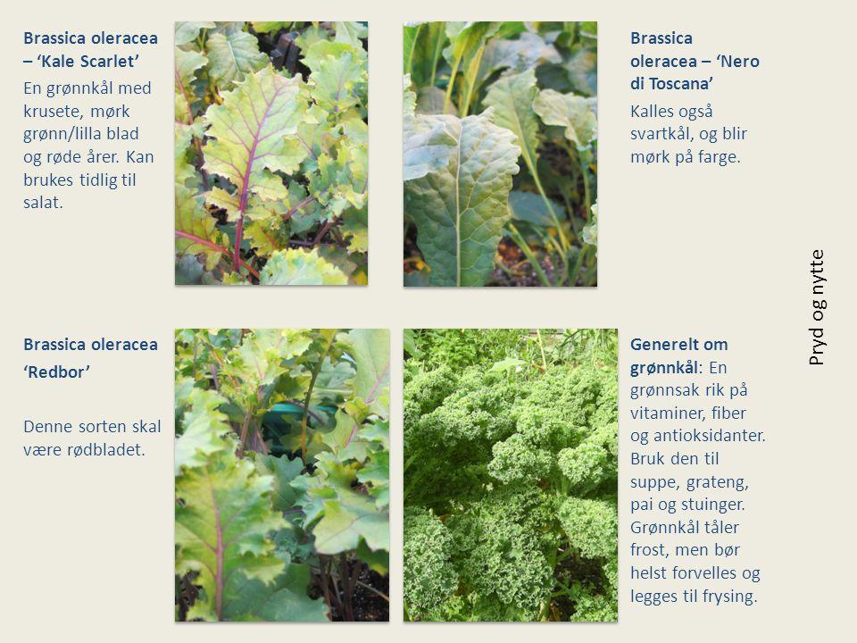 Pryd og nytte Brassica oleracea – 'Kale Scarlet'