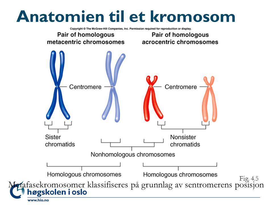 Anatomien til et kromosom