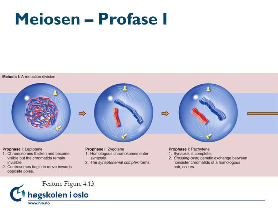 Meiosen – Profase I Feature Figure 4.13 Feature Figure 4.13