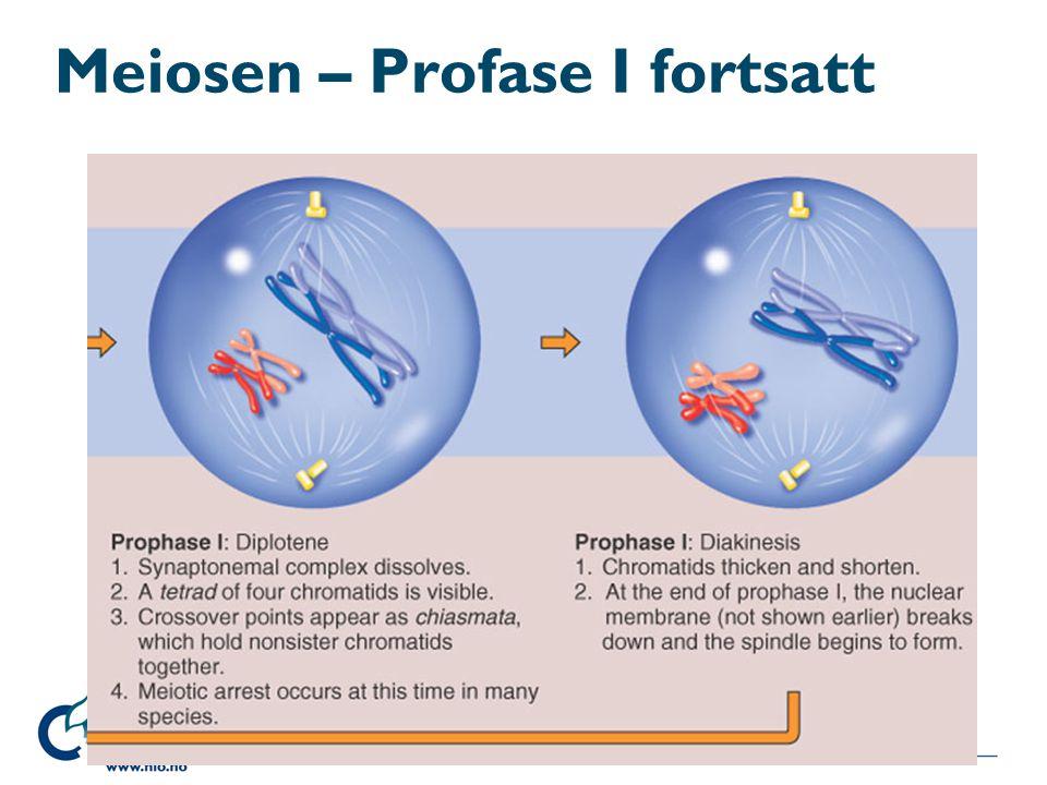 Meiosen – Profase I fortsatt