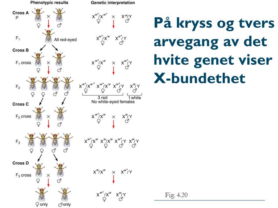 På kryss og tvers arvegang av det hvite genet viser X-bundethet