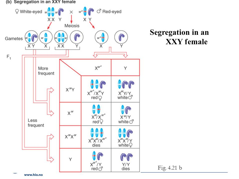 Segregation in an XXY female Figure 4.21 b Fig. 4.21 b