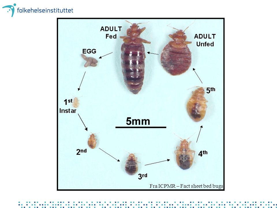 Fra ICPMR – Fact sheet bed bugs